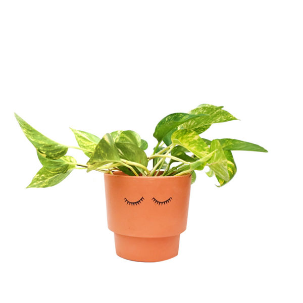 Devils Ivy Terracotta Pot Eyes Shut