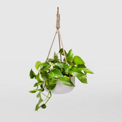 Devils Ivy White Ceramic Hanging Basket Large