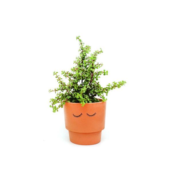 Jade Plant Money Tree Eyes Shut Terracotta Pot
