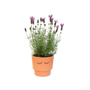 Lavender Terracotta Pot Shut Eyes