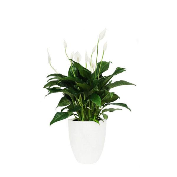 Peace Lily Terrazzo Pot