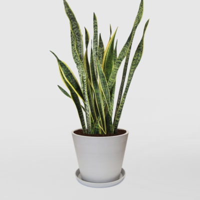Mother in Laws Tongue Ecopot Whitestone 300mm