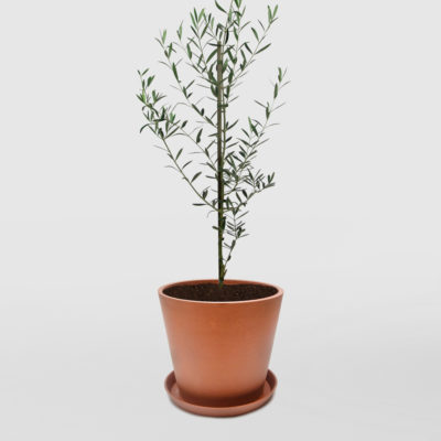 Olive Tree Ecopot Terracotta 300mm