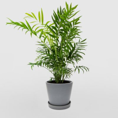 Parlour Palm Ecopot Blue Grey 200mm