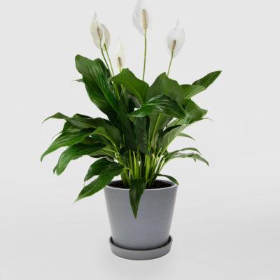 Peace Lily Ecopot Blue Grey 200mm