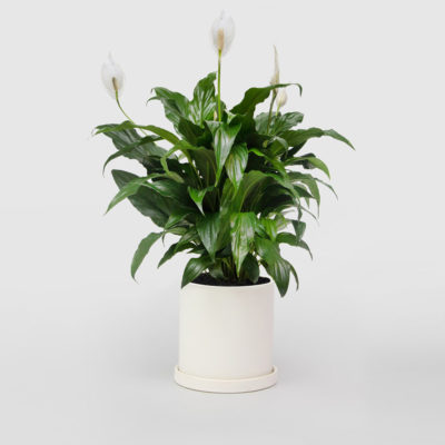 Peace Lily White Ceramic Pot Set 150mm