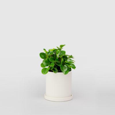 Peperomia White Ceramic Pot Set 150mm