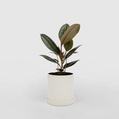 Rubber Plant Ficus Elastica White Ceramic Pot Set 150mm