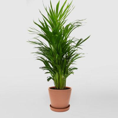 Golden Cane Palm Ecopot Terracotta 200mm