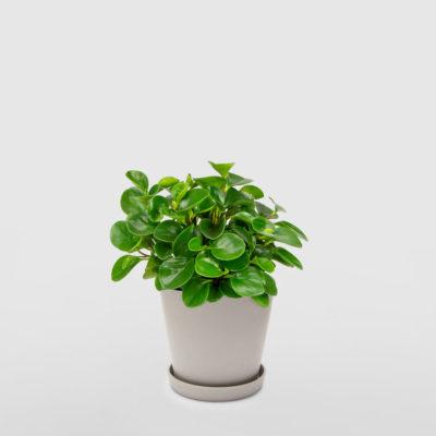 Peperomia Ecopot Whitestone 200mm